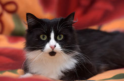 Black with white fluffy cat Stock Images