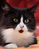 Black with white fluffy cat Royalty Free Stock Images