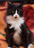 Black with white fluffy cat Stock Photos
