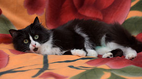 Black with white fluffy cat Stock Photography