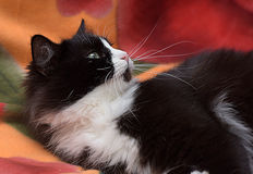 Black with white fluffy cat Stock Photo