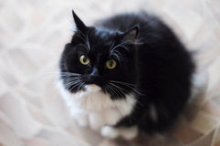 The black-and-white fluffy cat with white moustaches looks in a Stock Photo