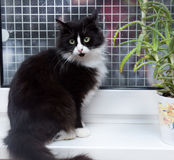 Black with white fluffy cat on a windowsill Stock Photo