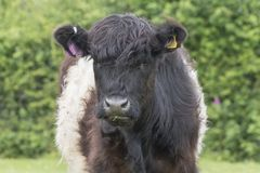 A black and white fluffy cow royalty free stock images