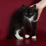 Black and white fluffy kitten standing on burgundy Royalty Free Stock Images