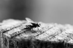 Black and white fly macro Stock Image