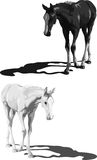 Black and white foals with shadows Royalty Free Stock Photography