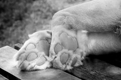 Black and white Foot of the White lion. In the zoo royalty free stock photo