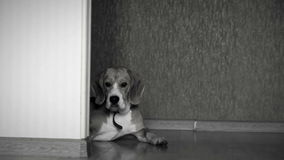 Black and white footage: serious beagle lies on the floor in the corridor and stares into the camera stock footage