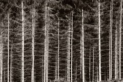 Black and white forest Royalty Free Stock Image