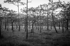 Black and white forest. The abundance of forests in national park at dawn Royalty Free Stock Photo