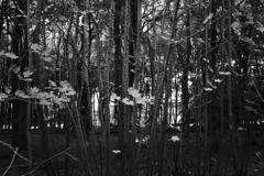 Black and white through the forest. stock photo