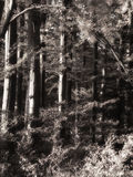 Black and white forest Stock Photos