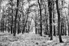 In the black and white forest Royalty Free Stock Photos
