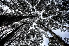 Black and White Forest Trees Converging. Trees converging towards a pale sky, black and white Royalty Free Stock Photo