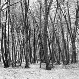 Black and white forest trees Royalty Free Stock Photo