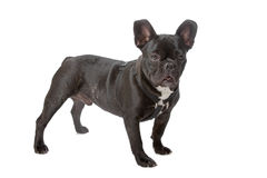 Black and white french bulldog Stock Photo