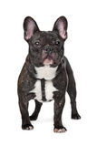 Black and White French Bulldog Stock Images