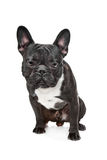 Black and White French Bulldog Stock Photography