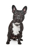 Black and White French Bulldog Royalty Free Stock Images