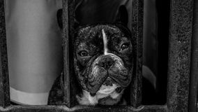 Black and White French Bulldog royalty free stock photo