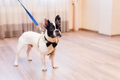 Black and white French Bulldog stands in a room royalty free stock photography
