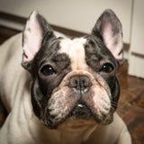 Black White French bulldog stare. Black White Brindle French bulldog stared on you Stock Photo
