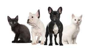 Black and white French bulldogs and kittens Stock Photos