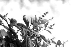 Black and white fresh basil plant Royalty Free Stock Images