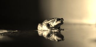 Black and white frog Royalty Free Stock Photo