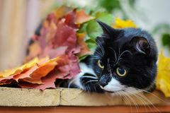 Black and white cat with autumn leaves. Black white funny cute cat with autumn yellow and orange leaves looks to the side royalty free stock images