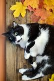 Black and white cat with autumn leaves. Black white funny cute cat with autumn yellow and orange leaves lying on wooden boards stock image