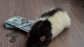 Black and white funny rat walks around coins and banknotes stock video