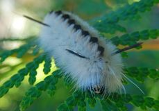 Black white fuzzy caterpillars hairy feather like hickory tussock moth poisonous. On cedar leaf green background abstract stock image