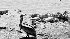 Black and white Galveston brown pelican 1 Royalty Free Stock Images