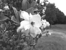 Black and White Gardenia flower. Black and white macro photo of a flower on the gardenia bush stock images
