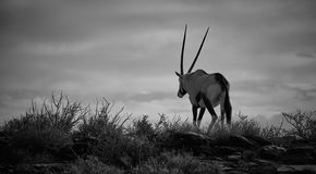 Animals in the Karoo royalty free stock photography