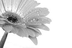 Black & White Gerbera Royalty Free Stock Photos