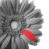 Black and white gerbera with red petal. Isolated on a white background royalty free stock photography