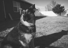 Black and White of German Shepard Royalty Free Stock Image