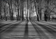 Black-White Ghost Forest. The rising sun makes the trees cast long shadows. In the background are visible houses Stock Photos
