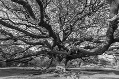 Black and white Giant tree Stock Photo