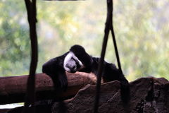Gibbon Sleeping Royalty Free Stock Photos