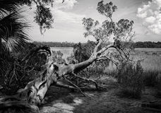 Black and white of a gnarly tree in the swamplands. Beautiful black and white gnarly tree in the southern swamps Royalty Free Stock Image