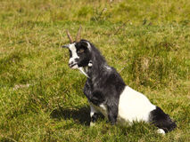 Black and white goat Royalty Free Stock Photo