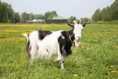 Black-and-white goat Royalty Free Stock Photo