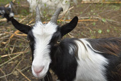 Black and white goat Royalty Free Stock Image