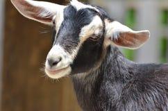 Black and white goat 2 Stock Photo