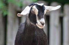 Black and white goat 4 Royalty Free Stock Photos