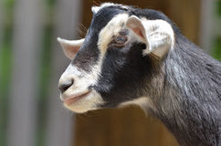 Black and white goat Royalty Free Stock Images